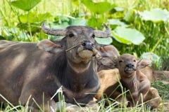 Familj för vattenbuffel Fotografering för Bildbyråer