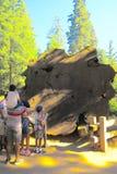 Familj i sequoianationalpark som beskådar en stor crossection av en forntida sequoia royaltyfri bild