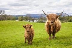 Familj på ängen - skotskt nötkreatur och kalv Arkivbilder
