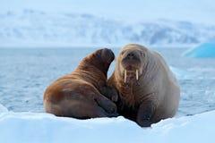 Familj på kall is Valrossen Odobenusrosmarus, klibbar ut från blått vatten på vit is med snö, Svalbard, Norge Moder med gröngölin royaltyfri fotografi