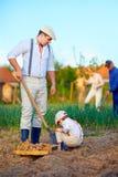 Familj som planterar potatisar i grönsakträdgård Arkivbilder