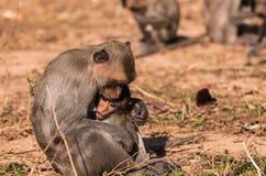 Familjapor & x28; Krabba-äta macaquen & x29; och behandla som ett barn förkylning och matning Royaltyfri Bild