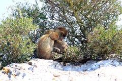 FamiljBarbary Macaques på rocken av Gibraltar Fotografering för Bildbyråer