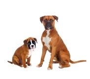 Familjboxarehundkapplöpning Royaltyfri Foto