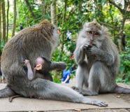Familjen av apor med behandla som ett barn lite macaquen n?ra Tample i apaskogen, Ubud, Bali, Indonesien arkivfoton