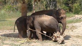 Familjen av asiatiska elefanter med hans behandla som ett barn elefanten på en elefantlantgård i Thailand arkivfilmer
