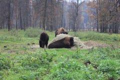 Familjen av bisonen Royaltyfri Foto