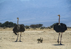Familjen av den afrikanska ostrichen (Struthiocamelus) i natur reserverar, Israel Fotografering för Bildbyråer