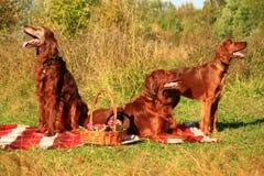 Familjen av den irländska setter är på en picknick Royaltyfri Bild