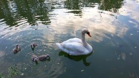 Familjen av den vita svanar, modern och ungar Arkivbilder