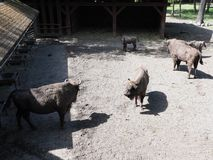 Familjen av fem europeiska bisonar står på sandig jordning i bilaga på staden av Pszczyna i Polen royaltyfri bild