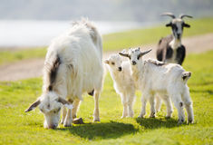 Familjen av getter äter gräs Fotografering för Bildbyråer