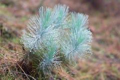 Familjen av gymnosperms Blå frodig filial Granfilialer Spruce bakgrund Dimmig dimmaskog för barrskog in arkivbild