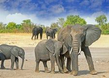 Familjen av olika tre storleksanpassade elefanter som står på de torra slättarna i den Hwange nationalparken Arkivfoto