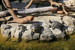 Familjen av sköldpaddor som solbadar på, vaggar royaltyfri bild