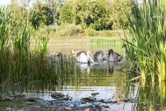 Familjen av svanar äter royaltyfri fotografi