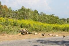 Familjen av svin korsar gatan Arkivfoto