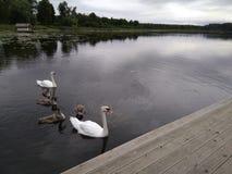 Familjen av vita svanar simmar i sjön under den molniga himlen royaltyfri bild