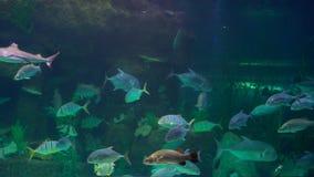 Familjen besöker en oceanarium Ett stort akvarium med tropiska fiskar arkivfilmer