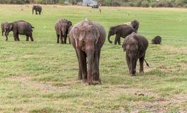 Familjen för den asiatiska elefanten på Minneriya parkerar Arkivbild