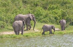 Familjgrupp för afrikansk elefant längs en flod Arkivbild