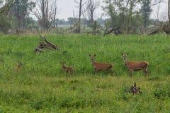 Familjgruppen av röda hjortar och lismar Arkivbilder