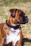 Familjhusdjur, en boxarehund som håller klockan Fotografering för Bildbyråer