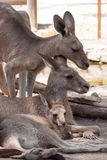 Familjkänguru i en zoo Arkivfoton