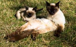 Familjkatter som vilar solig dag för gräs Arkivfoto