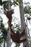 Familjorangutang som hänger mellan träden (Indonesien) Arkivbild