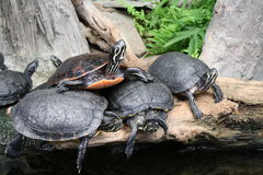 familjsköldpaddor Royaltyfri Foto