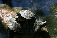 Familjsköldpaddor royaltyfria foton