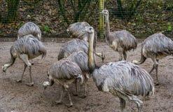 Familjstående av en grupp av amerikanska nandu som tillsammans står, tropiska flightless fåglar från Amerika, nära hotade djur royaltyfria bilder