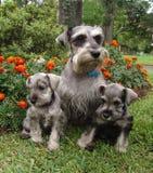 Famille 2 de Schnauzer Photo libre de droits