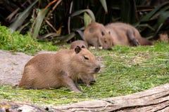 Famille adorable de Capybara image libre de droits