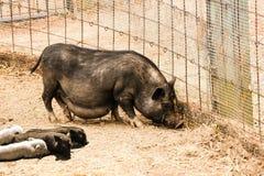 Famille bedonnante de porc Image libre de droits