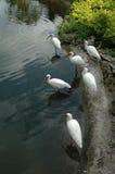 Famille blanche d'IBIS près d'étang artificiel Images stock