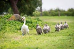 Famille blanche de cygne Photographie stock libre de droits