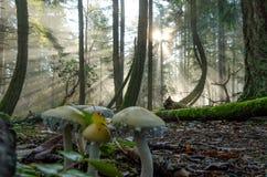 Famille brumeuse de musroom de forêt photos stock
