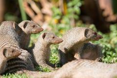 Famille curieuse de mangouste réunie Photographie stock libre de droits
