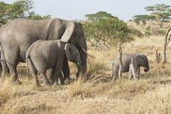 Famille d'éléphant Photo stock