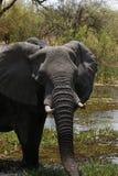 Famille d'éléphant africain Images libres de droits