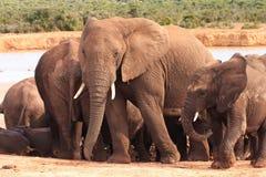 Famille d'éléphant au point d'eau images libres de droits