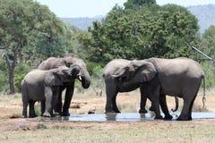 Famille d'éléphant buvant chez Waterhole image stock