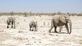 Famille d'éléphant de Bush d'Africain Photo stock