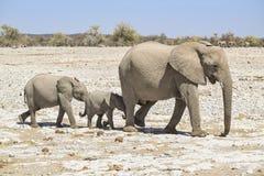 Famille d'éléphant de Bush d'Africain Images libres de droits