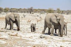 Famille d'éléphant de Bush d'Africain Photographie stock libre de droits