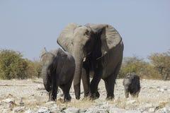 Famille d'éléphant, Namibie photos stock