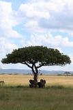 Famille d'éléphant sous l'acacia de parapluie Photographie stock libre de droits