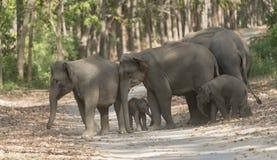 Famille d'éléphant traversant la route principale Images libres de droits
